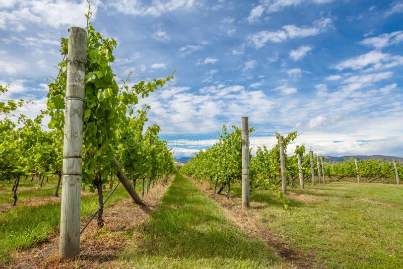 Weinberge in Tasmanien stockbilder
