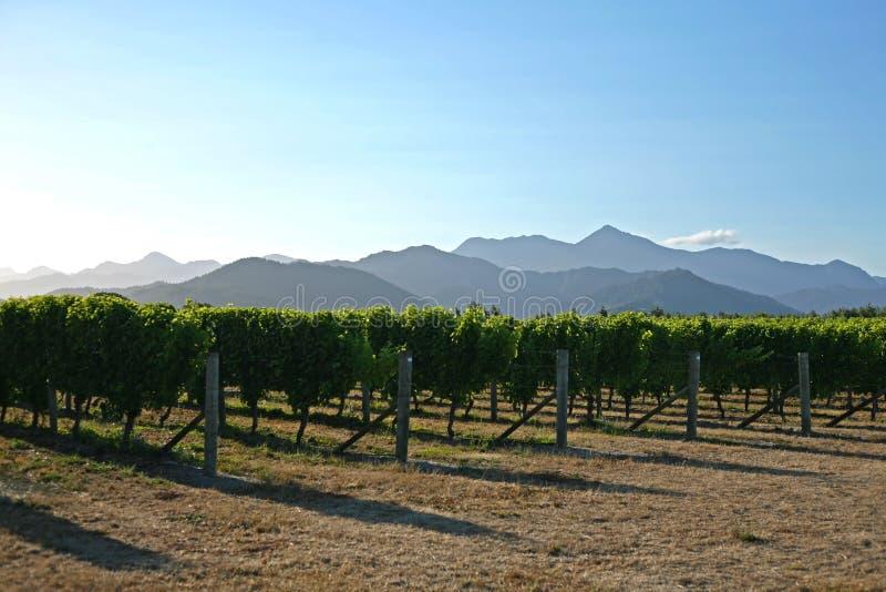 Weinberge von Marlborough in Neuseeland stockfoto