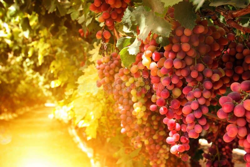 Weinberglandschaft mit reifen Trauben bei Sonnenuntergang Weinlese gefiltertes Bild stockfotos