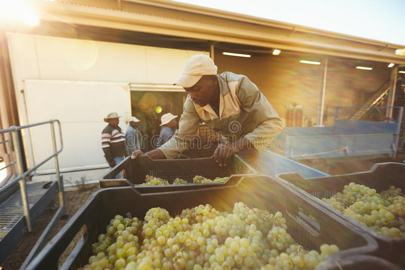 Weinbergsarbeiter, der Traubenkästen vom LKW in der Weinkellerei entlädt lizenzfreie stockfotos