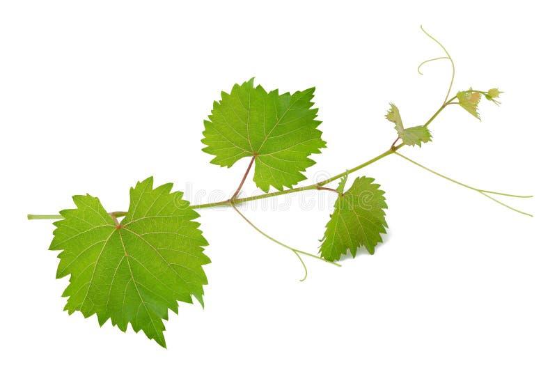 Weinblätter stockfoto