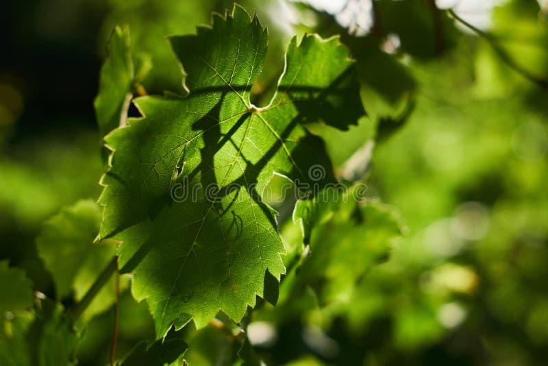 Weinblätter in einem Weinberg lizenzfreie stockbilder