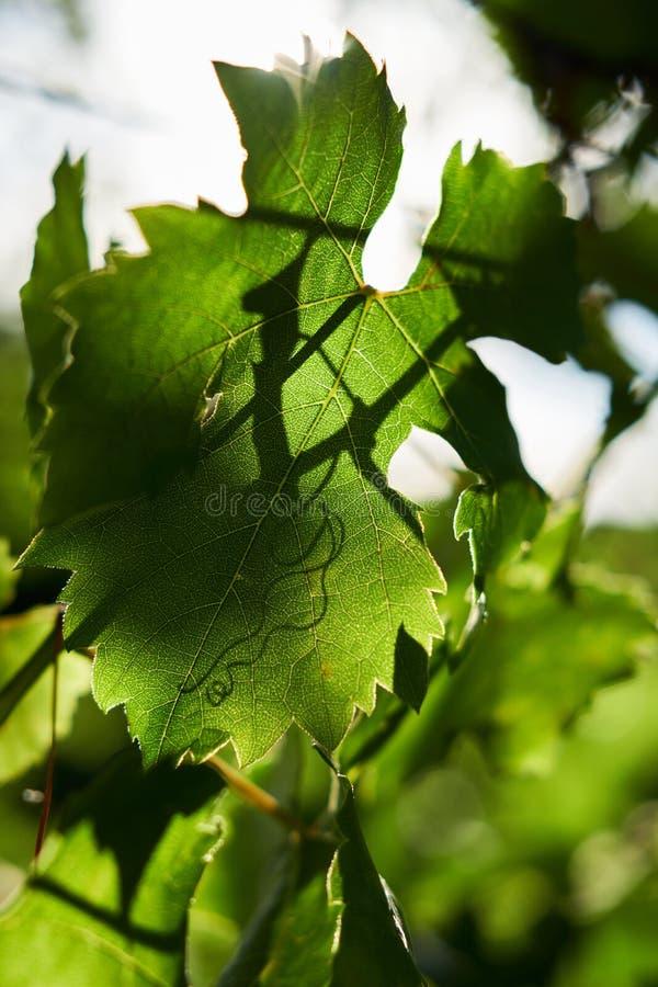 Weinblätter in einem Weinberg lizenzfreies stockfoto