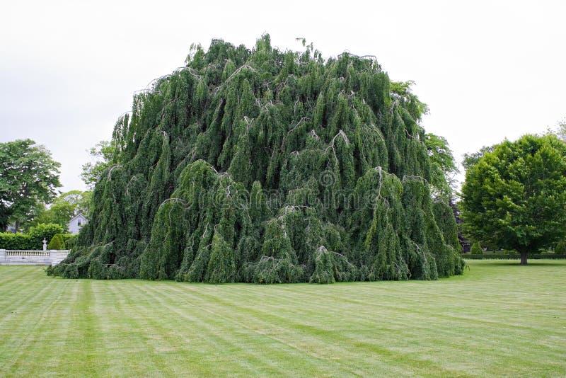 Weinende Buche-Baum stockbild