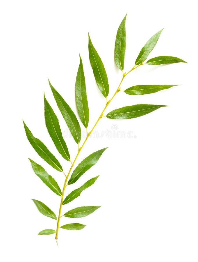 Weinende Willow Leaf stockbilder