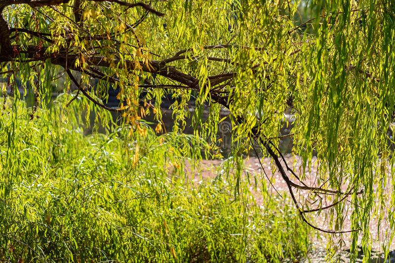 Weinende Willow Tree See Through lizenzfreie stockfotos