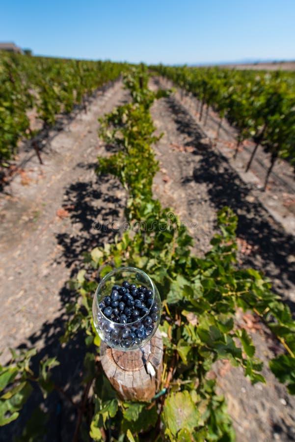 Weinglas mit roten Weinreben auf Beitrag im Weinberg lizenzfreies stockfoto