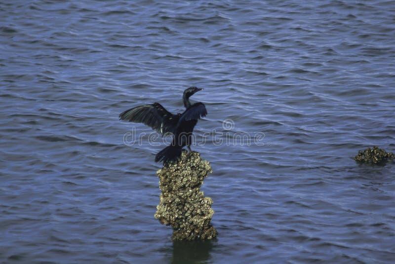 Weinig Aalscholver de laagkleur is over het algemeen zwart royalty-vrije stock afbeelding