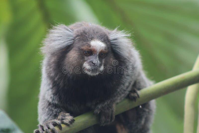 Weinig aap in het hout stock foto's