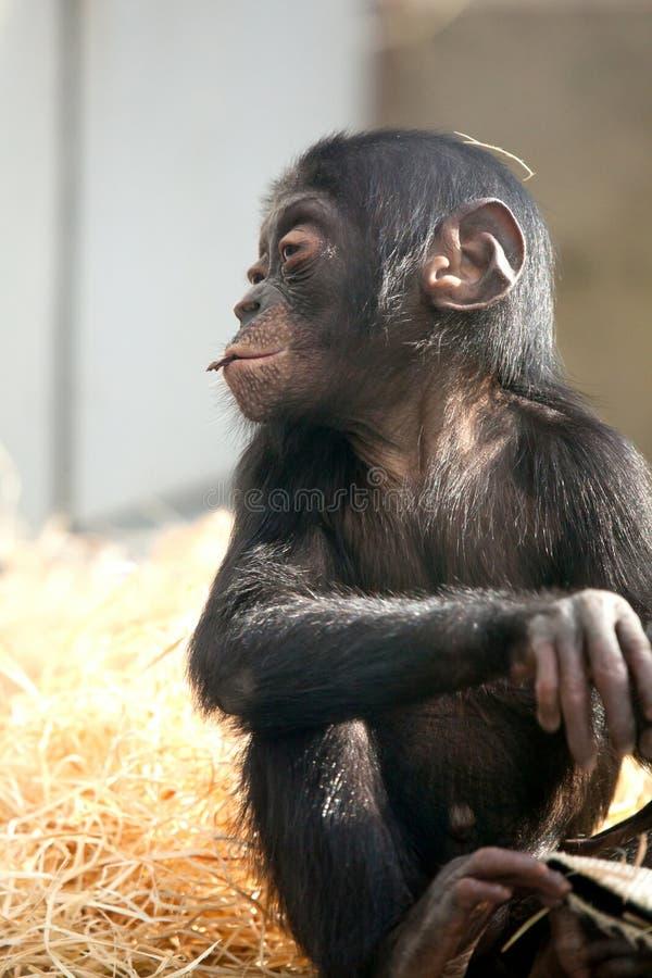 Weinig aap van de babychimpansee zit met droevige uitdrukking bekijkend camera royalty-vrije stock fotografie