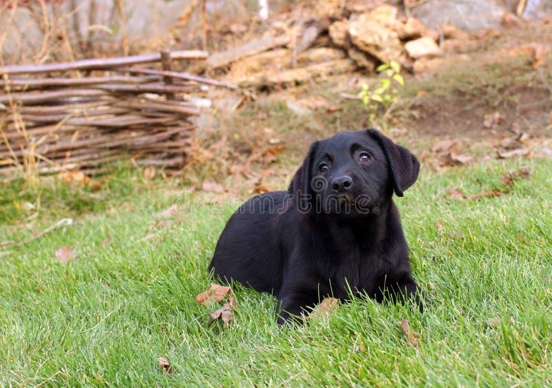 Weinig aardig zwart puppy van Labrador in de herfst stock afbeelding