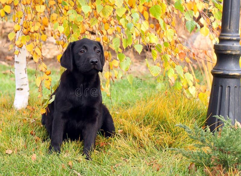 Weinig aardig zwart puppy van Labrador in de herfst royalty-vrije stock foto
