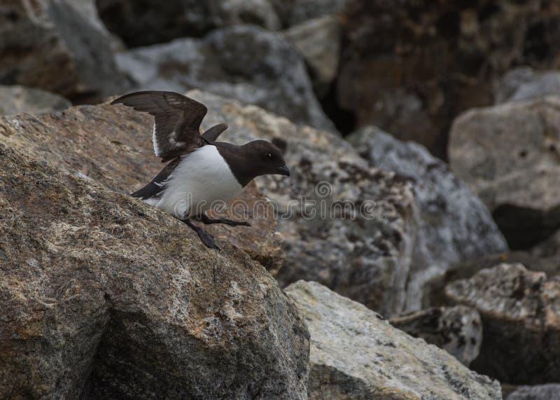 Weinig Alk die de kolonie in Fuglesongen, NW Spitsbergen vertrekken stock afbeelding