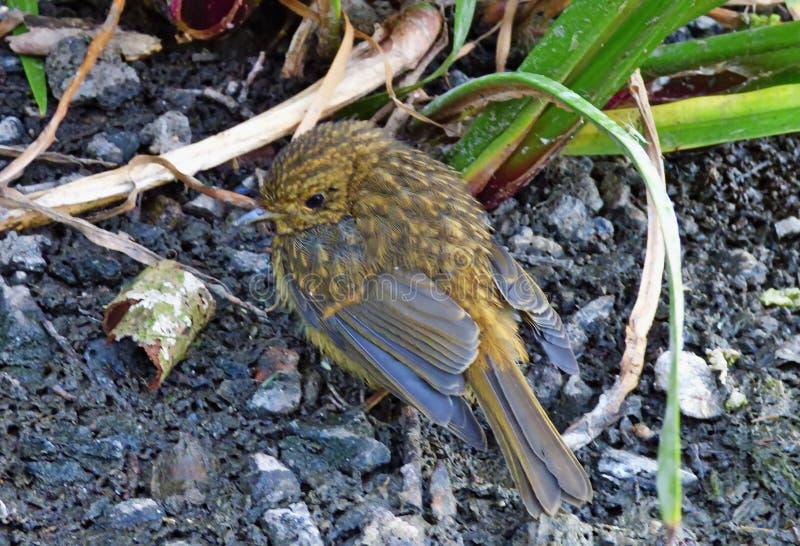 Weinig baby Robin die voorbij me naast een meer lopen die, foto in de Britse medio zomer wordt genomen royalty-vrije stock foto