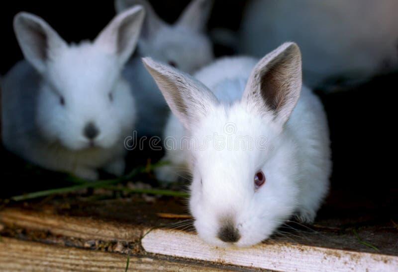 Weinig babykonijnen stock foto