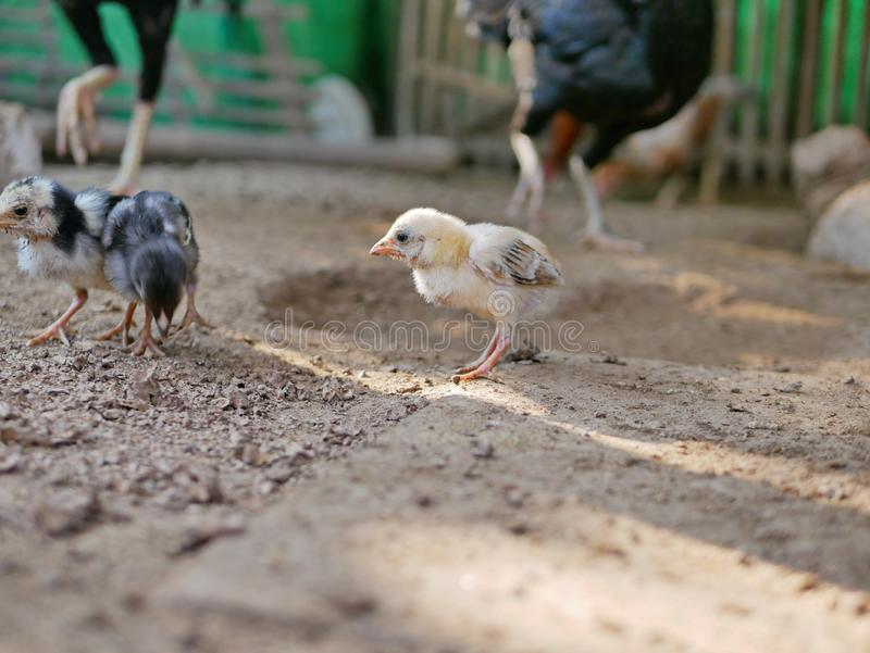 Weinig babykuikens in een kippenkippenren in een gevogeltelandbouwbedrijf op een plattelandsgebied in Thailand stock foto's