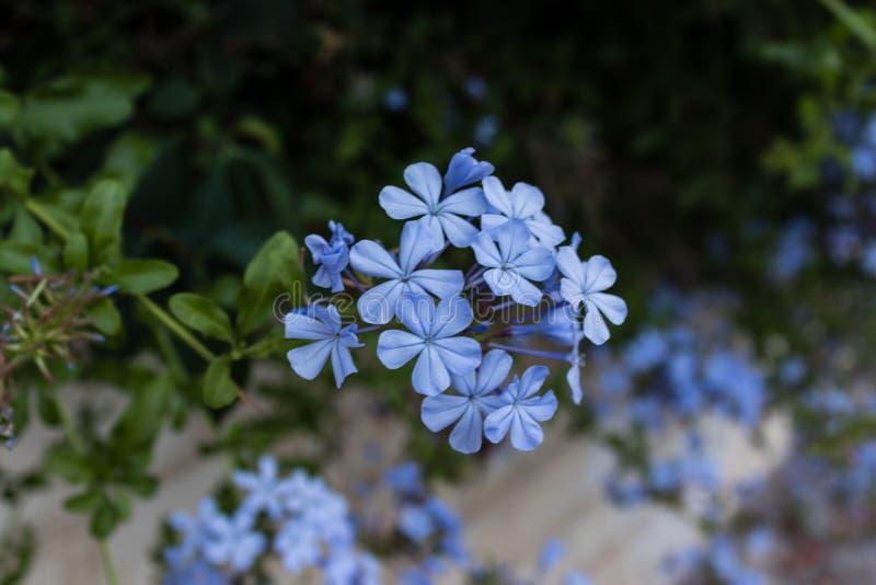 Weinig blauwe bloemclose-up stock foto
