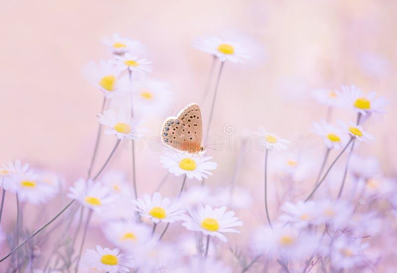 Weinig blauwe vlinder bluehead op madeliefje bloeit in een weide royalty-vrije stock afbeeldingen