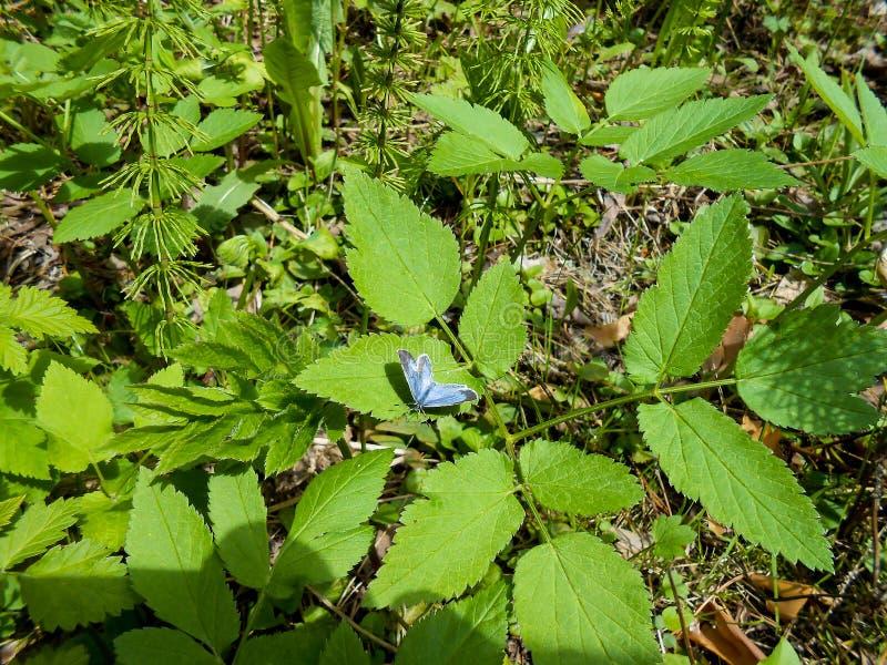 Weinig blauwe vlinder in het bos op een blad van steenvruchten stock fotografie