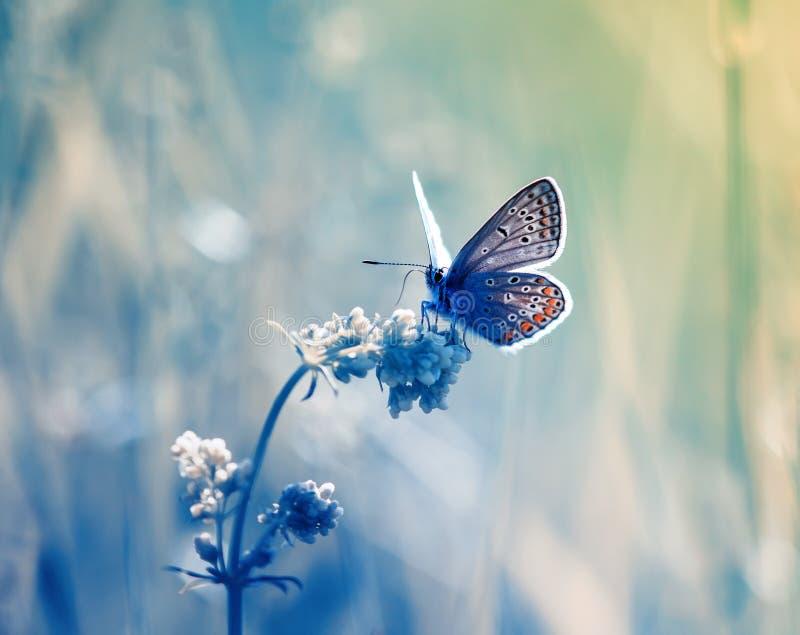 weinig blauwe vlinder, koper-vlinder zit op gevoelig stock foto