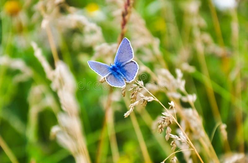Weinig blauwe vlinderzitting op het gras De macrofoto van de het wildaard royalty-vrije stock foto's