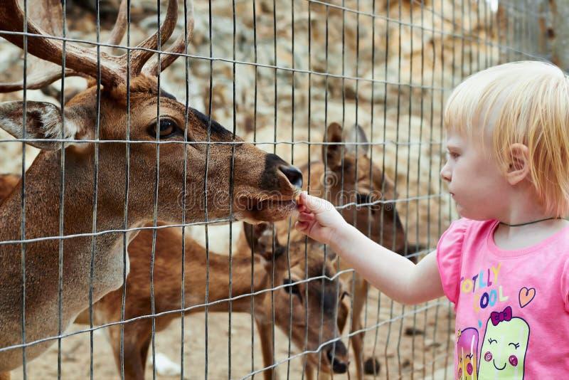 Weinig blondemeisje voedt een hert stock foto's