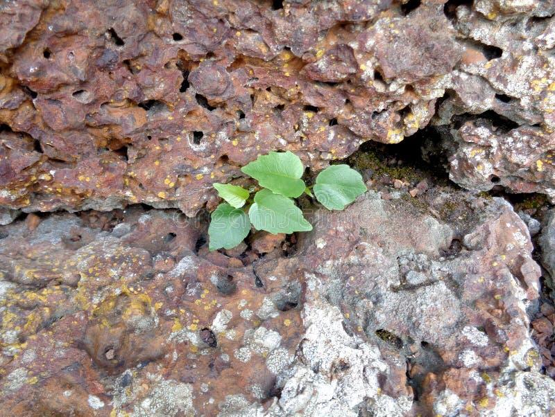Weinig boom het groeien in de oude ruwe steenmuur van een oude tempelruïne in Thailand, Close-up royalty-vrije stock afbeelding