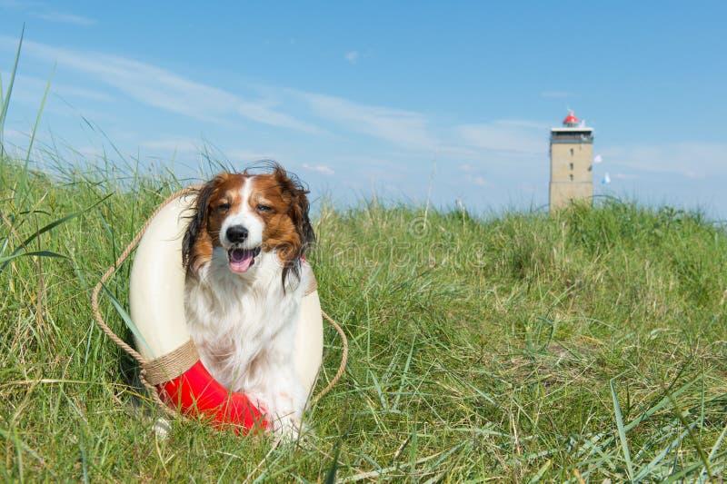 Weinig bruine en witte hond royalty-vrije stock foto's