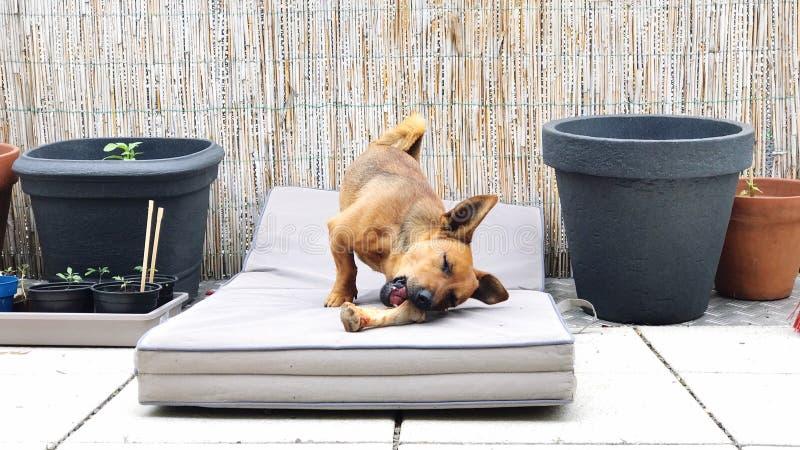 Weinig bruine hond die thuis zijn groot been voor diner kauwen stock fotografie