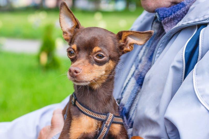 Weinig bruine hond Russische stuk speelgoed terriër in de handen van owner_ stock fotografie
