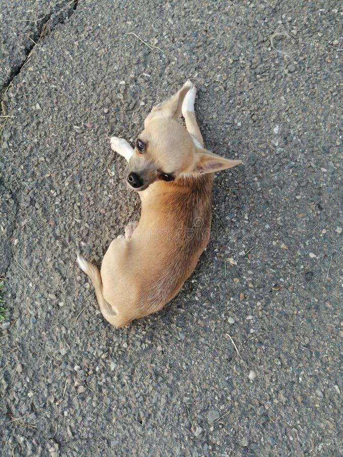 Weinig chihuahua van een hond op asfalt royalty-vrije stock afbeeldingen