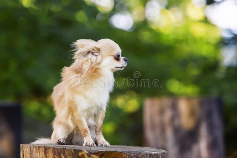 Weinig chihuahuahond kalm en zeker stellen stock foto