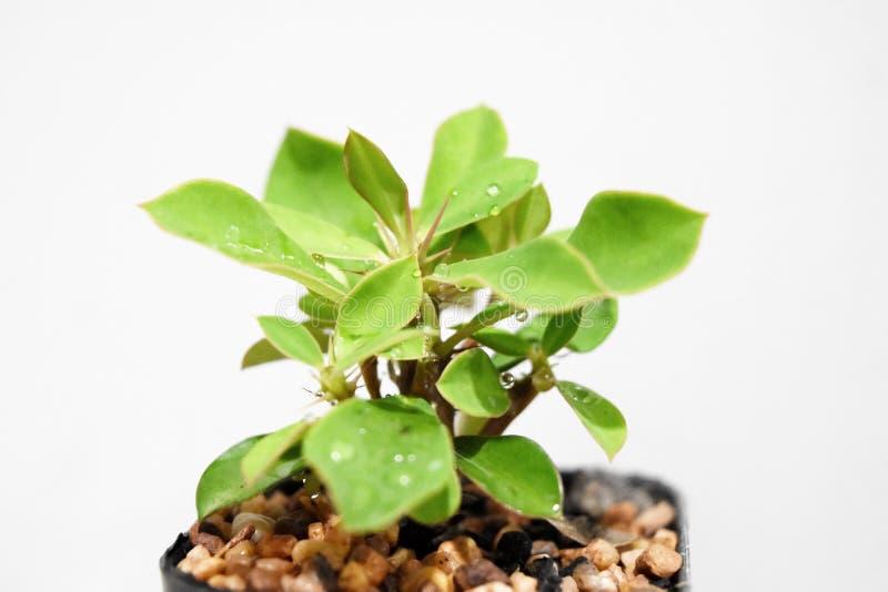 Weinig de boom van Wolfsmelkmilii het planten in een kleine vensterdoos royalty-vrije stock foto's