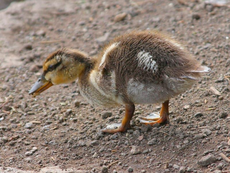 Weinig Ducky royalty-vrije stock afbeeldingen