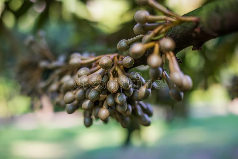 Weinig durian bloem, Vers durian fruit op boom stock foto