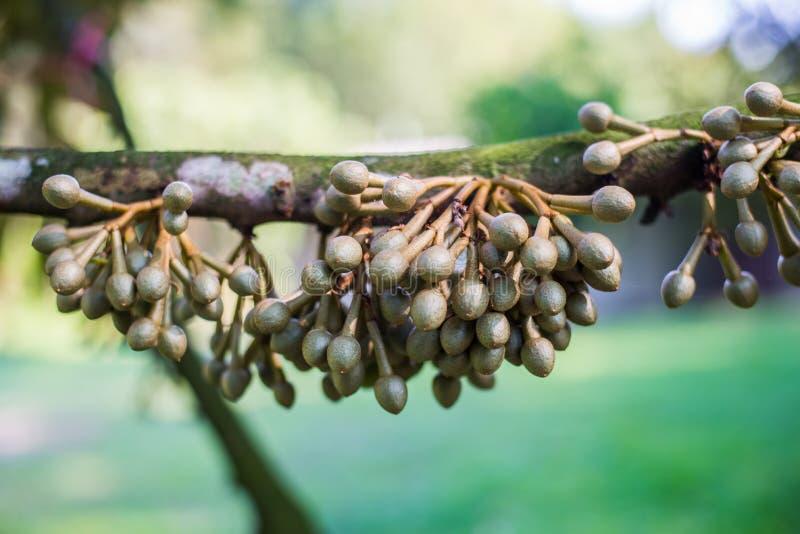 Weinig durian bloem, Vers durian fruit op boom stock fotografie