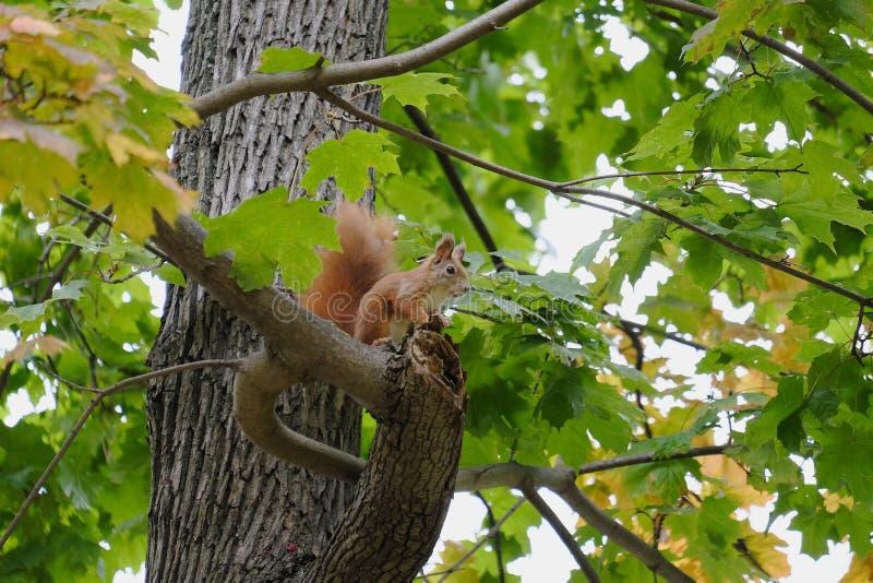 Weinig eekhoorn in de takken van een boom royalty-vrije stock foto's