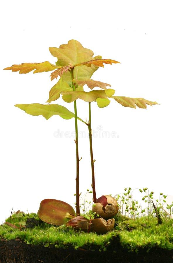 Weinig eiken bomen royalty-vrije stock afbeeldingen