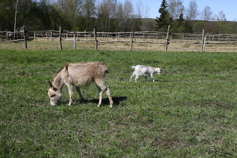 Weinig ezel en een geit die een gras op een groene weide eten stock afbeelding