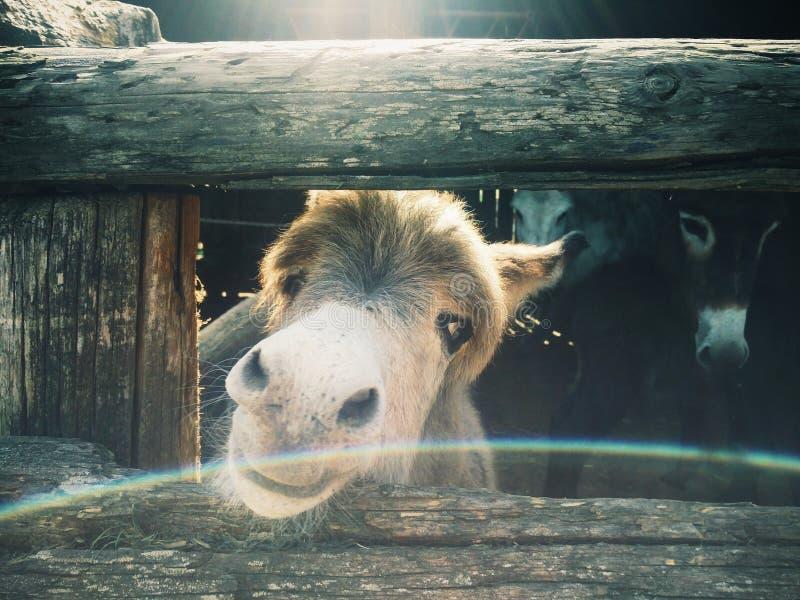 Weinig ezel op een familielandbouwbedrijf stock afbeeldingen