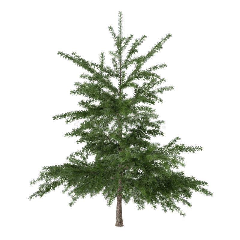Weinig geïsoleerde struik van de pijnboomboom. Pinus spar royalty-vrije stock afbeeldingen