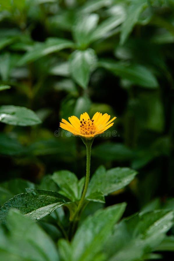 Weinig geel madeliefje van Singapore - sluit omhoog bloemschot stock afbeelding