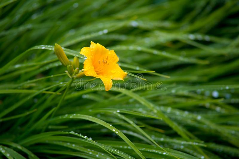Weinig gele bloem van de daglelie met knoppen in de tuin, regenachtige som stock foto