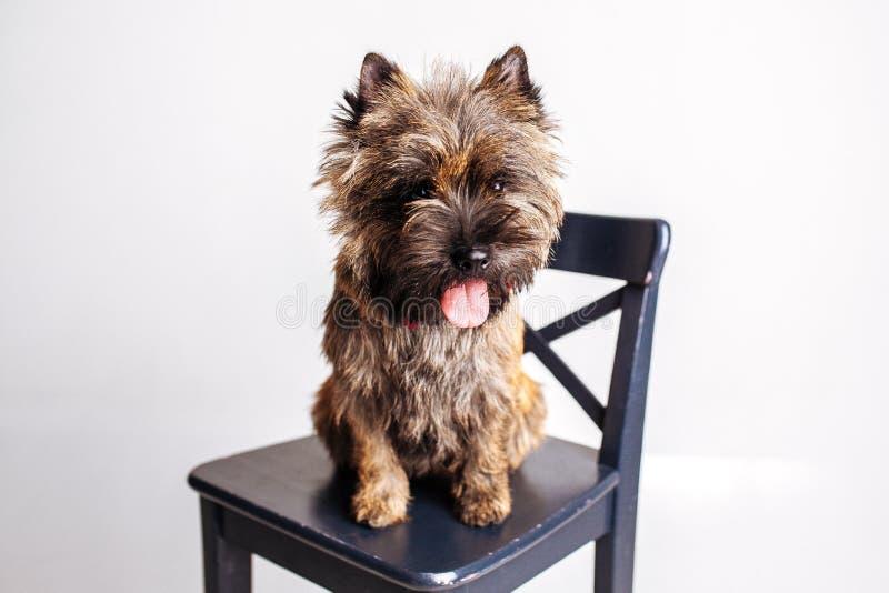 Weinig gelovige hondzitting op een stoel stock afbeeldingen