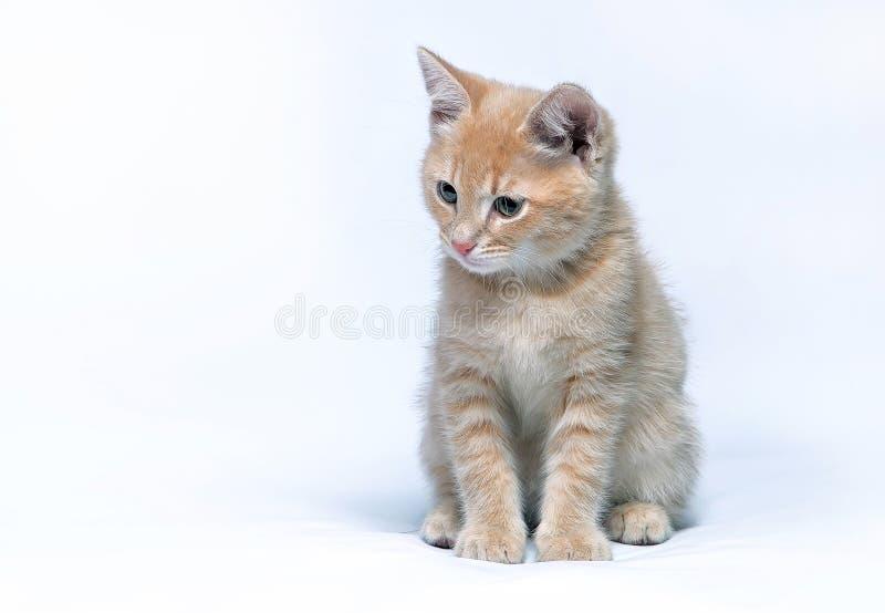 Weinig gemberkatje zit op een grijze achtergrond stock fotografie