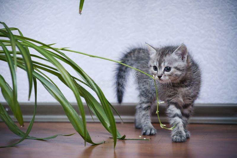Weinig grijs katje overspande zijn rug en strijden met een installatie stock afbeelding