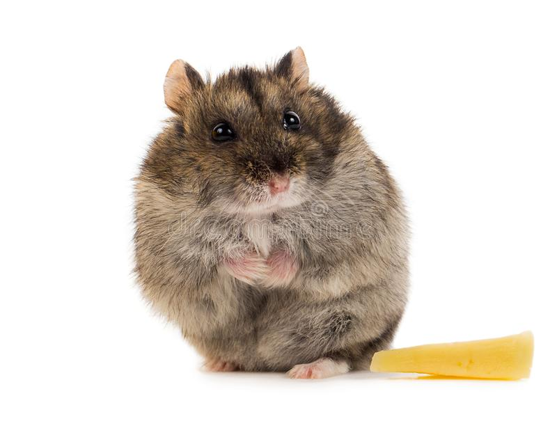 Weinig grijze hamster met vrede van kaas royalty-vrije stock afbeeldingen