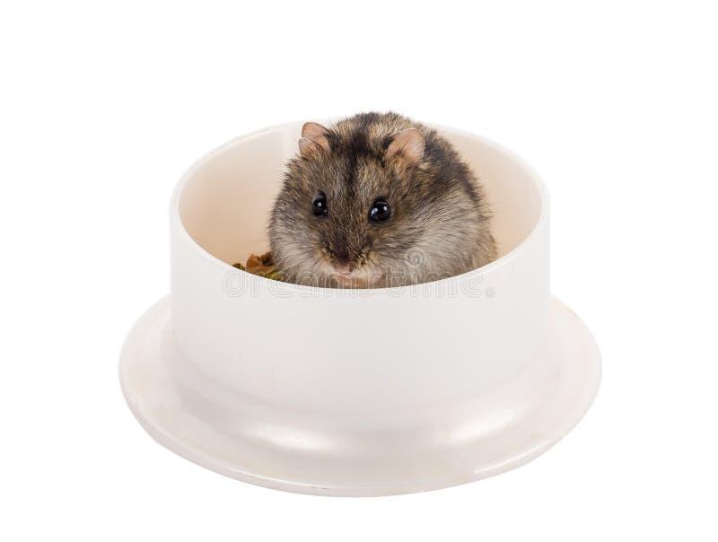 Weinig grijze hamsterzitting in zijn kom met voedsel royalty-vrije stock fotografie