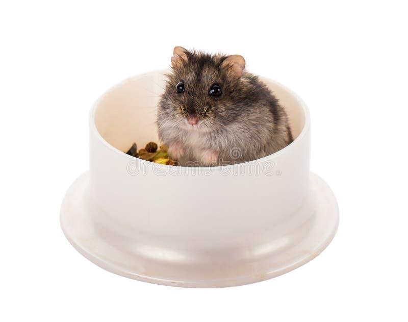 Weinig grijze hamsterzitting in zijn kom met voedsel stock afbeelding