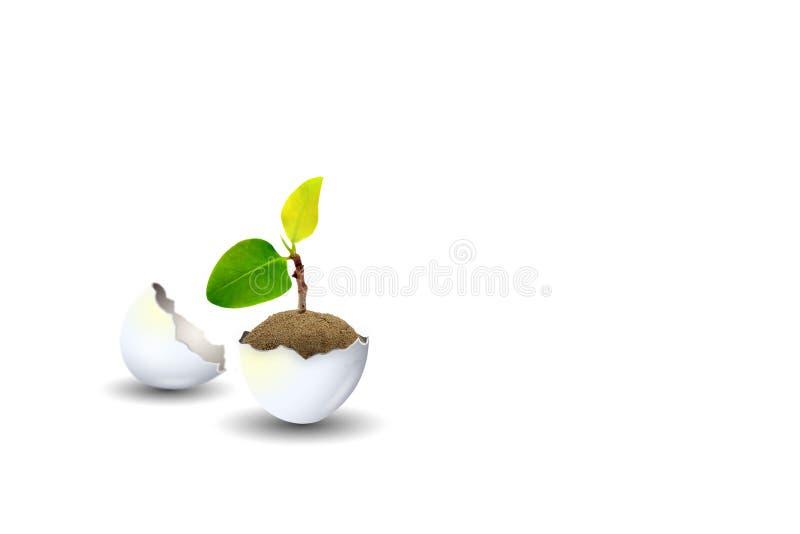 Weinig groei van de spruit groene die boom in eierschaal op witte achtergrond wordt geïsoleerd stock foto